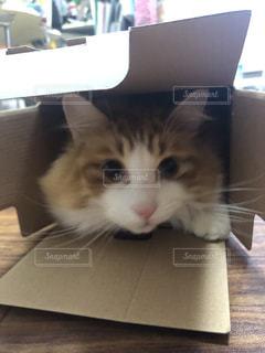 家族,友だち,猫,動物,屋内,ペット,箱,人物,ノルウェージャンフォレストキャット,箱ネコ,ネコ