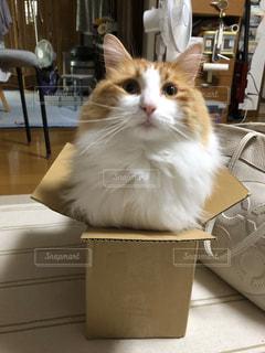家族,友だち,猫,動物,ペット,箱,人物,ノルウェージャンフォレストキャット,箱ネコ,キティ,ネコ,ネコ科の動物