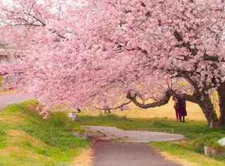 花,春,屋外,満開,樹木,草木,桜の花,さくら,散歩日和