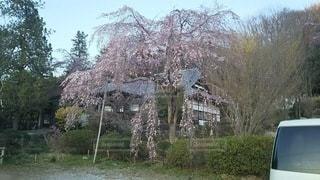 花,春,桜,木,しだれ桜,花見,お花見,イベント,長瀞