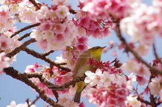 風景,花,春,桜,木,花見,景色,お花見,イベント,メジロ,寒桜,ブロッサム,あたみ桜