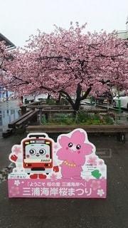 花,春,桜,木,花見,お花見,イベント,河津桜,三浦海岸