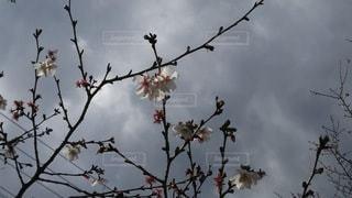 花,春,桜,木,花見,お花見,イベント,伊豆,冬桜,桜山,さくらの里,三波川