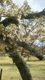花,春,桜,木,花見,お花見,イベント,大島桜