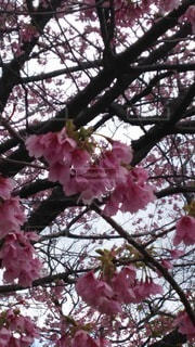 花,春,桜,木,花見,お花見,イベント,城ヶ崎桜