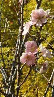 花,春,桜,木,花見,お花見,イベント,十月桜