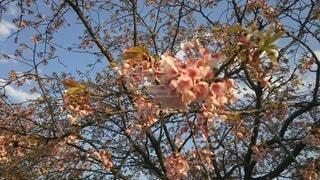 花,春,桜,木,花見,お花見,イベント,安行寒桜