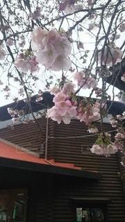 花,春,桜,木,花見,お花見,イベント,御車返しの桜