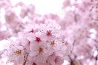 花,春,桜,木,雨,フラワー,季節,花見,満開,お花見,キラキラ,イベント,雨上がり,雫,flower,風物詩,儚い,旅立ち,出会い,しずく,滴,シーズン,四季,雨粒,cherry blossom,健気,別れ,再生,Sakura,さくら,行事,フォトジェニック,儚げ,ファインダー越しの私の世界,美しさ,再会,ブロッサム,春一番,桜前線,年間行事,日本の美,惜別
