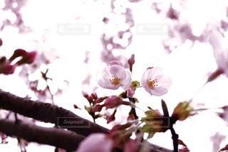 風景,花,春,桜,木,かわいい,季節,花見,景色,花びら,つぼみ,お花見,イベント,蕾,儚い,旅立ち,出会い,桃色,シーズン,四季,新生活,cherry blossom,別れ,再生,Spring,自然光,花弁,桜の花,Sakura,やさしい,さくら,フォトジェニック,儚げ,ファインダー越しの私の世界,開花,再会,ブロッサム,桜前線,日本の美,ピンクの世界,惜別,芽吹く季節
