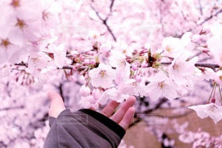 桜の写真・画像素材[3066678]