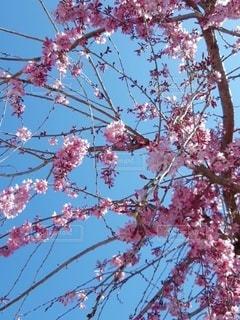 空,花,春,屋外,ピンク,花見,樹木,イベント,桜の花,さくら,ブロッサム