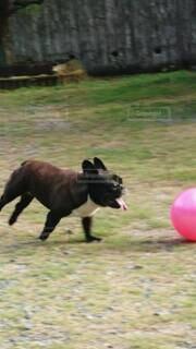 犬,動物,フレブル,フレンチブルドッグ,庭,屋外,黒,遊ぶ,ボール,元気,可愛い,ダッシュ,かけっこ,ドッグ,イヌ,ワンコ