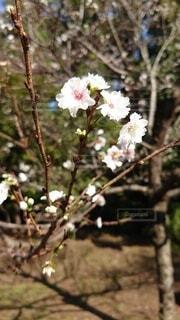 風景,花,春,桜,屋外,枝,散歩,花見,景色,樹木,つぼみ,ドライブ,クローズアップ,草木,ブロッサム