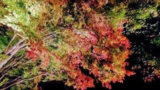 秋,夜,夜景,紅葉,緑,綺麗,黄色,幻想的,葉,鮮やか,光,紅,樹木,ライトアップ,朱色,河口湖,草木,カエデ,紅葉回廊,紅葉祭