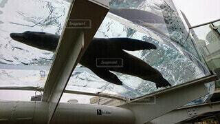 空中を泳ぐアシカの写真・画像素材[4048177]