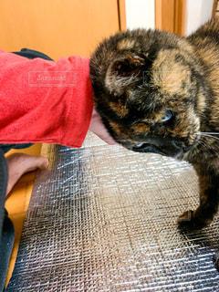 猫,動物,屋内,手,ペット,人物,撫でる,ネコ,すりすり
