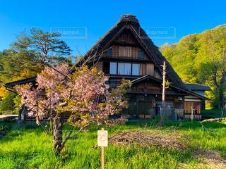 空,桜,木,花見,草,古い,樹木,イベント,さくら