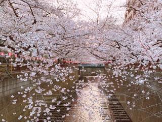 自然,花,春,屋外,水面,樹木,さくら,ブロッサム