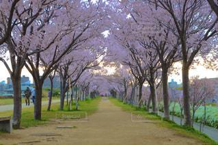 公園の桜並木の写真・画像素材[3061476]