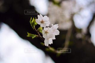 桜のクローズアップの写真・画像素材[3061492]