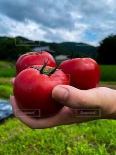 収穫したてのトマトの写真・画像素材[3667404]