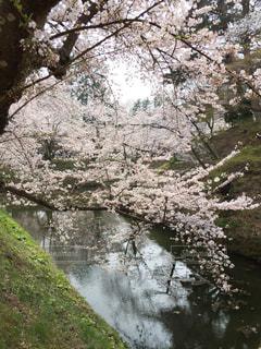 自然,花,春,水面,樹木,桜の花,さくら