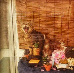 猫,動物,屋内,ペット,あくび,ショーウィンドウ,ネコ