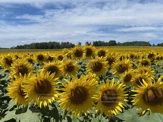 どこまでも続く向日葵畑の写真・画像素材[4686007]