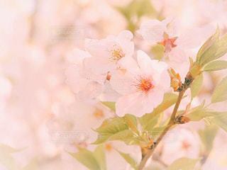 花,春,ピンク,さくら