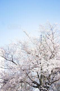 空,花,春,桜,屋外,満開,樹木,快晴,草木,日中,さくら,ブロッサム