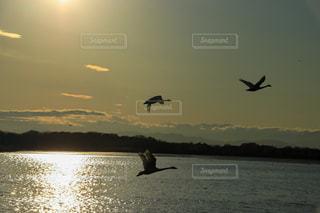 風景,空,鳥,屋外,湖,太陽,水面,光,白鳥