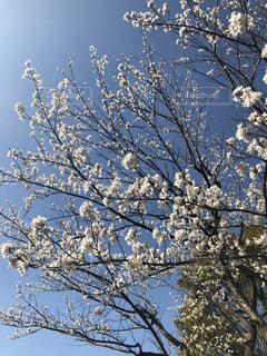 桜 春 晴れ 幸せ