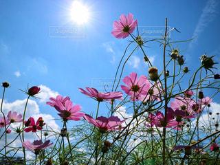 太陽と秋桜の写真・画像素材[2864788]