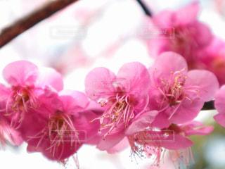 梅の花の写真・画像素材[3015402]
