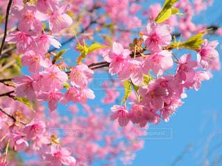 空,花,春,ピンク,青空,鮮やか,カラー,草木,桜の花,さくら,ブルーム,ブロッサム