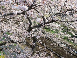 花,春,屋外,線路,季節,樹木,草木,桜の花,さくら,ブロッサム