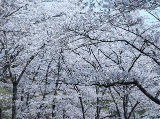 自然,風景,花,春,森林,屋外,景色,樹木,さくら,フォトジェニック,ブロッサム