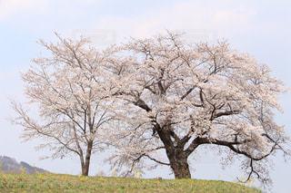 風景,空,花,春,屋外,景色,樹木,さくら