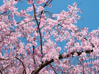 花,春,ピンク,青空,樹木,草木,桜の花,さくら,ブルーム,ブロッサム
