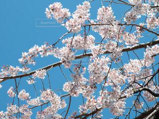青空と桜の写真・画像素材[3048370]