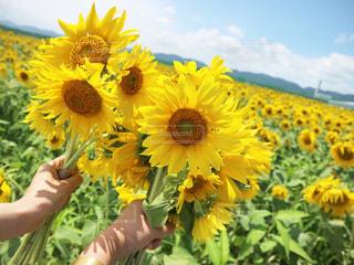 ひまわりの花束の写真・画像素材[3089729]
