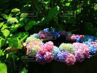 たくさんのカラフルな紫陽花たちのリースの写真・画像素材[3379495]