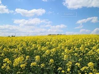 青空と菜の花畑の写真・画像素材[4326198]