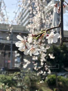 1人,花,春,屋外,樹木,草木,桜の花,さくら,ブルーム,ブロッサム