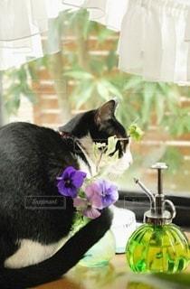 猫,動物,ペット,人物,窓辺,出窓,ネコ,パンジーと猫