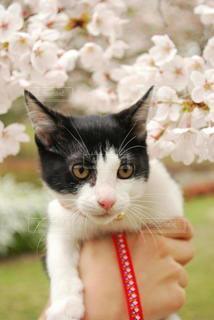 猫,桜,動物,屋外,かわいい,ペット,子猫,ネコ,白黒猫
