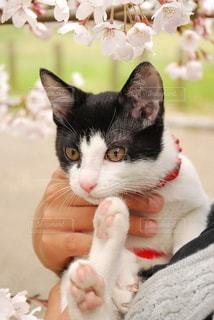 猫,桜,動物,かわいい,ペット,人物,ネコ
