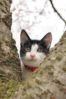 猫,桜,動物,木,屋外,樹木,ペット,子猫,人物,ネコ