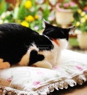 猫,動物,リビング,白黒,景色,ペット,ハート,クッション,くつろぐ,ネコ